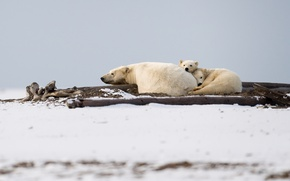 Картинка звери, семья, Polar Bear