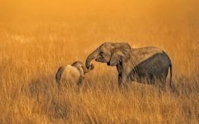 Картинка семья, слоны, Амбосели, Кения, Национальный парк
