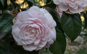 Картинка цветы, природа, куст, Камелия, цветени