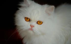 Обои кошка, взгляд, мордочка, белая, пушистая, Персидская кошка