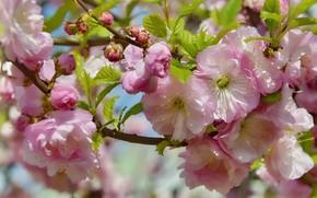 Картинка цветы, природа, праздник, красота, весна, май, цветение, миндаль