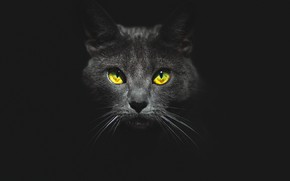 Картинка глаза, кот, взгляд, морда, чёрный фон, котэ