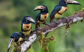 Картинка птицы, квартет, семейка, туканы, ошейниковый арасари, арасари