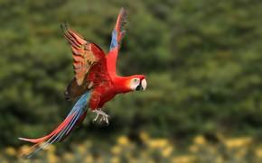 Картинка полет, птица, крылья, попугай, ара
