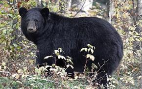 Картинка природа, барибал, чёрный медведь