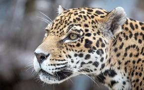 Картинка глаза, морда, хищник, ягуар