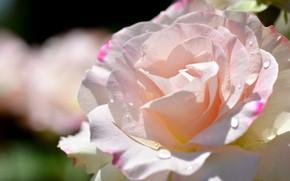 Картинка капли, роза, лепестки