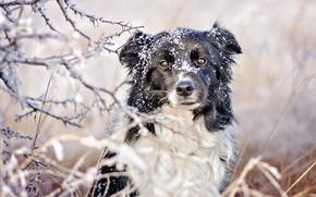Обои зима, иней, трава, взгляд, морда, снег, ветки, природа, черно-белая, портрет, собака