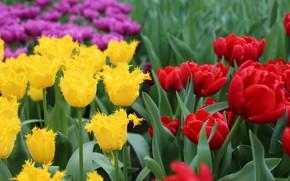 Картинка фон, Тюльпаны, Парк