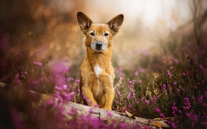 Картинка цветы, собака, рыжая, Toby