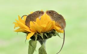 Обои природа, подсолнух, мышки, мышь-малютка