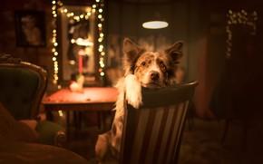 Обои собака, уют, дом, взгляд, друг