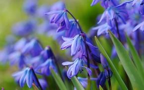 Картинка синий, весна, первоцвет