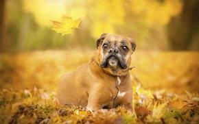 Картинка осень, лист, собака, боксёр