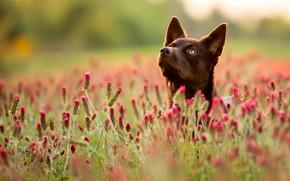 Картинка поле, лето, трава, морда, цветы, собака, боке