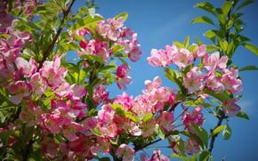Картинка цветы, ветки, природа, дерево, весна, цветущее дерево