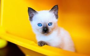 Картинка кошка, кот, взгляд, желтый, фон, портрет, контейнер, пластик, котёнок, голубые глаза, мордашка, милашка, сиамский, голубоглазый, …