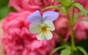 Обои Фиалка трёхцветная, Весна, Bokeh, Цветочек, Spring, Flower, Боке