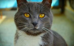 Обои Cat, Кот, Кошка, Macro