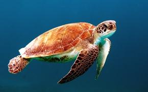 Картинка океан, черепаха, морская, панцирь