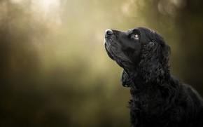 Обои морда, фон, портрет, собака, профиль, боке