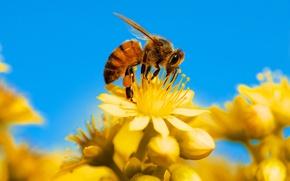 Картинка природа, насекомое, пчела, лепестки, цветы