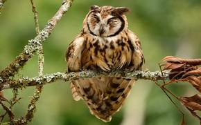 Обои сова, полосатая сова, ветка, птицы