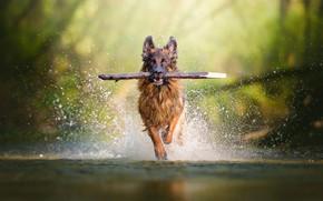 Картинка вода, брызги, друг, собака, бег, палка, овчарка