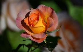 Картинка макро, роза, лепестки, бутон, боке