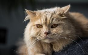 Картинка кот, Британская длинношёрстная кошка, мордочка, взгляд, кошка