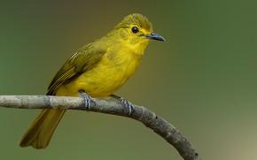 Обои птицы, ветка, желтый чернобровый бюльбюль