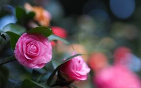 Картинка розовый, куст, камелия
