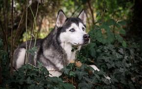 Картинка зелень, пес, хаски, порода