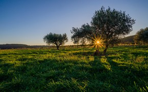 Картинка солнце, лучи, Франция, Шампань, оливковое дерево