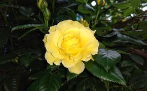 Картинка роза, куст, бутоны, жёлтая, mamala ©
