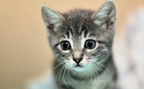 Картинка кошка, глаза, взгляд, крупный план, котенок, серый, портрет, мордочка, котёнок, светлый фон, полосатый