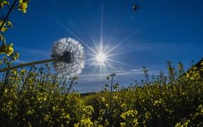 Картинка небо, солнце, лучи, цветы, одуванчик