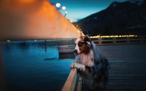 Картинка ночь, пристань, австралийская овчарка, by KristynaKvapilova