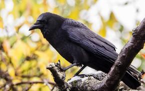 Картинка природа, птица, ворона