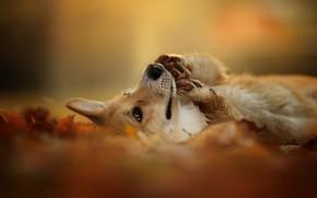 Картинка осень, природа, друг, собака, Вельш-корги