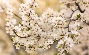Картинка ветки, вишня, дерево, весна