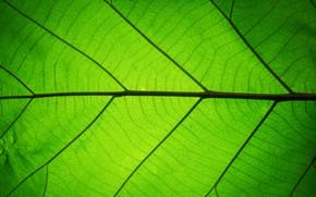 Картинка зелень, лист, Текстура