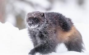 Обои зима, снег, Росомаха, Wolverine