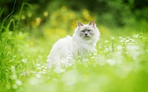 Обои кот, трава, кошка, боке