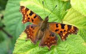 Картинка лето, лист macro photo, бабочка. листва