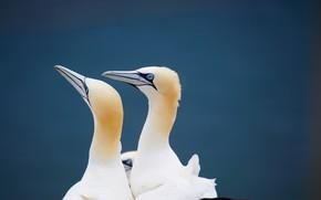 Картинка птицы, пара, олуши