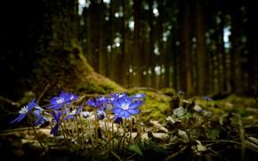Картинка лес, цветы, природа, весна, фиалки
