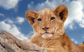 Обои молодой лев, взгляд, небо, дикая кошка, львёнок