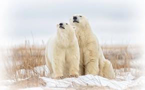 Картинка медведи, парочка, Белые медведи, Полярные медведи