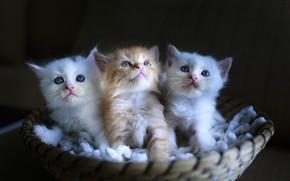 Обои котята, малыши, корзинка, сидят, мордашки